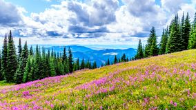 Hiking through alpine meadows covered in pink fireweed wildflowers in the high alpine. Near the village of Sun Peaks, in the Shuswap Highlands in central royalty free stock photography