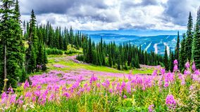Hiking through alpine meadows covered in pink fireweed wildflowers in the high alpine. Near the village of Sun Peaks, in the Shuswap Highlands in central royalty free stock photo