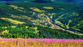 Hiking through alpine meadows covered in pink fireweed wildflowers overlooking Sun Peaks village Royalty Free Stock Image