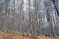 Hiking in a beech forest Royalty Free Stock Image