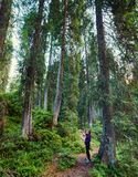 Hiking through big pine trees. Hiker woman in a forest of huge pine trees Royalty Free Stock Photography