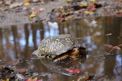 Eastern box turtle in a puddle Connetquot state park October 2018. While hiking in Connetquot state park in New York state I came across this Eastern box turtle royalty free stock photography