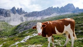 Hiking with a cow royalty free stock photos