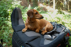 Hiking dachshund Stock Images