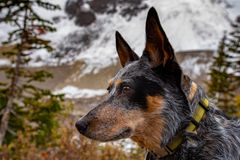 Hiking Blue Heeler Dog. Blue Heeler dog hiking the Lake Louise area and PLAIN OF THE 6 GLACIERS in Banf National Park Alberta Canada stock image