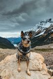 Hiking Blue Heeler Dog. Blue Heeler dog hiking the Lake Louise area and PLAIN OF THE 6 GLACIERS in Banf National Park Alberta Canada royalty free stock photo