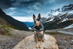 Hiking Blue Heeler Dog. Blue Heeler dog hiking the Lake Louise area and PLAIN OF THE 6 GLACIERS in Banf National Park Alberta Canada stock photography