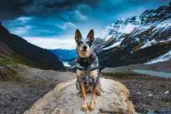 Hiking Blue Heeler Dog. Blue Heeler dog hiking the Lake Louise area and PLAIN OF THE 6 GLACIERS in Banf National Park Alberta Canada royalty free stock photography