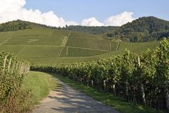 Path through Durbach vineyards,  Baden. Hiking and farmers path through the vineyards, with the foothills of the Black Forest in the background near Durbach Royalty Free Stock Image