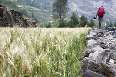 Hiking in the Farmlands. A hike walks across a wall path between small wheat farms in Tiger Leaping Gorge in Yunnan Province, China Royalty Free Stock Photography