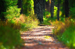 Hiking forest path through thick woods Royalty Free Stock Image