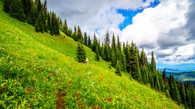 Hiking through the high Alpine Meadows covered in wild flowers to the top of Tod Mountain Stock Image
