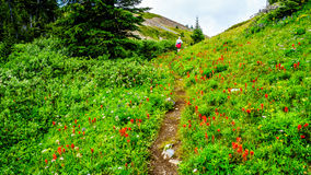 Hiking through the high Alpine Meadows covered in wild flowers to the top of Tod Mountain Royalty Free Stock Photo