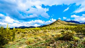 Hiking on the hiking trails surrounded by Saguaro, Cholla and other Cacti in the semi desert landscape of the McDowell Mountains. Hiking on the hiking trails royalty free stock photography