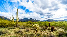 Hiking on the hiking trails surrounded by Saguaro, Cholla and other Cacti in the semi desert landscape of the McDowell Mountains. Hiking on the hiking trails royalty free stock photo