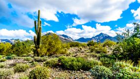 Hiking on the hiking trails surrounded by Saguaro, Cholla and other Cacti in the semi desert landscape of the McDowell Mountains. Hiking on the hiking trails royalty free stock image