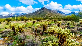 Hiking on the hiking trails surrounded by Saguaro, Cholla and other Cacti in the semi desert landscape of the McDowell Mountains. Hiking on the hiking trails stock photography