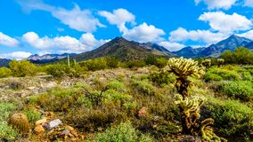 Hiking on the hiking trails surrounded by Saguaro, Cholla and other Cacti in the semi desert landscape of the McDowell Mountains. Hiking on the hiking trails stock image