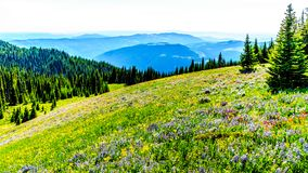 Hiking through the meadows covered in wildflowers in the high alpine near the village of Sun Peaks Royalty Free Stock Image