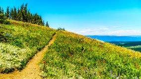 Hiking through the meadows covered in wildflowers in the high alpine near the village of Sun Peaks Royalty Free Stock Images