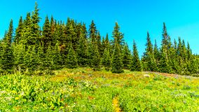 Hiking through the meadows covered in wildflowers in the high alpine near the village of Sun Peaks Royalty Free Stock Photo