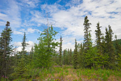 Hiking Path in Alaska Pines Royalty Free Stock Image