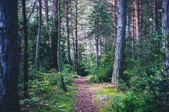 Hiking path into the pine tree forest royalty free stock photography