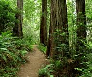 Hiking path through the redwood forest Royalty Free Stock Photos