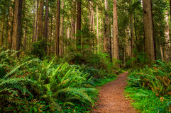 Hiking Path in Redwood Forest. Giant trees and a hiking Path in Redwood Forest Stock Photos