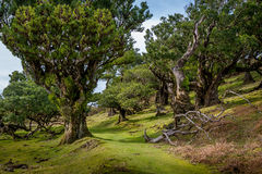 Hiking path trough the Fanal forest and green hills of Madeira island Royalty Free Stock Image