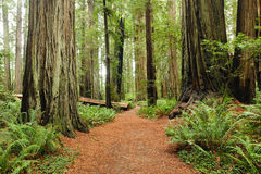 Hiking in Redwood national park Royalty Free Stock Photography
