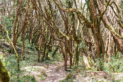 Hiking in rhododendron forest Stock Photography