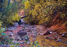 Hiking a Riverbed in Fall Colors. Fall in Zion National Park Utah with the leaves changing colors along a riverbed with people hiking Royalty Free Stock Photography