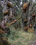 Hiking the Rwenzori Mountains, Uganda. Hikers in the dense rainforest of Rwenzori Mountains National Park, Kasese District, Uganda stock photography