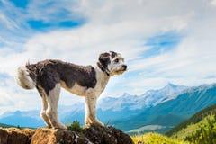 Hiking Sheepdog. Scenic Hiking with a Polish Lowland Sheepdog Powderface Ridge, Kananaskis Country Alberta Canada Royalty Free Stock Photo