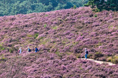 Hiking tourists on a hill with blooming heath in Dutch national Royalty Free Stock Photos