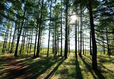 Pine trees forest Royalty Free Stock Images