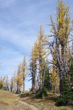 Hiking trail by alpine larches royalty free stock image