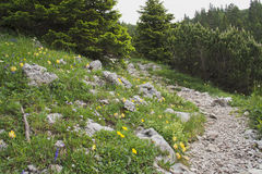 Hiking trail. Through an alpine meadow with flowers and mountain pines Royalty Free Stock Image