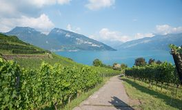 Hiking trail amidst beautiful vineyard, view to lake thun and sw Royalty Free Stock Image