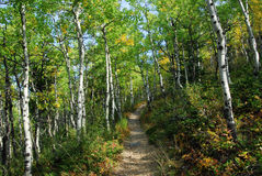 Hiking trail in aspen forest Royalty Free Stock Image