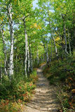 Hiking trail in aspen forest Stock Photography