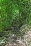 Hiking Trail Through a Bamboo Forest on Maui. A hiking trial through a bamboo grove in Haleakala National Park Maui Stock Photo