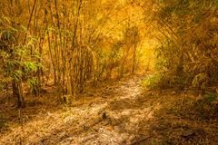 Hiking trail in bamboo forest in warm tone of autumn Stock Photos