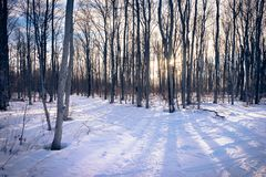 A hiking trail through birch trees in winter stock image
