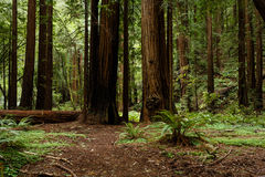 Hiking trail blocked by fallen redwood tree Stock Photos
