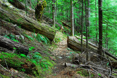 Hiking trail in cedar forest stock photography