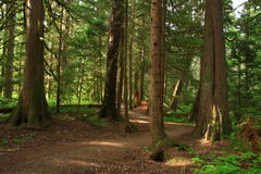 Hiking trail through cedars Stock Photography