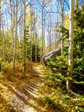 Hiking trail through colorful aspen forest in full fall colors Royalty Free Stock Photography