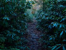 Hiking Trail Through Dark Forest of Mountain Laurel Stock Image